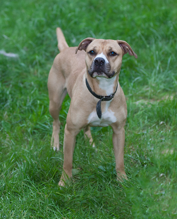 AmStaff_Mix_Harriet