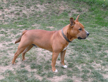 Mini_Bullterrier_Bulldog_Mix_Snoopy