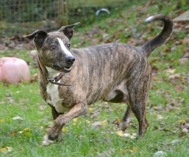 AmStaff_Podenco_Mix_Smoky_neu