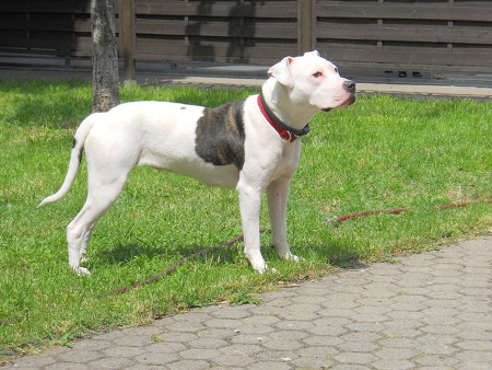 Pitbull_Mix_Kaya