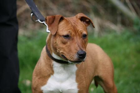 Staffbull-Mix Bianca