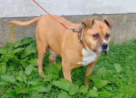 AmStaff-Mix Xoxo neu